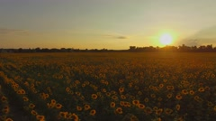 Aerial. Flying above sunflowers field. Sunset. Smooth movement. 4K Stock Footage