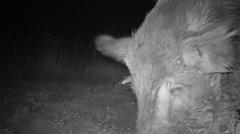 Wild Boar Male Stock Footage