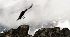 Black Raven Slowmo Flies from Alpine Lichen Rocks Cloudy Day Stock Footage