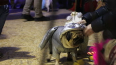 Pug party atmosphere, funny dogs in creative suits walking around on leashes Stock Footage