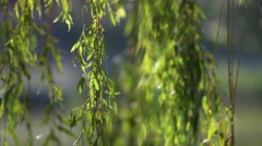 Willow branches on the nature Stock Footage