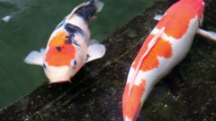 Ornamental Koi fishes swim in stone floor pond Stock Footage