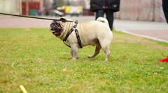 Cute fawn pug enjoying a walk on leash, wrinkly dog shaking head, pet having fun Arkistovideo