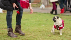Happy dog wearing nice Santa suit enjoying morning walk in park with owner Stock Footage