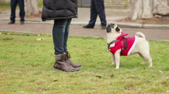 Owner feeding pet outdoors, encouraging smart dog for good tricks, wrinkly pug Stock Footage