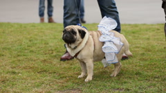 Man petting nice wrinkly pug wearing fancy canine accessories, dog's fashion Stock Footage