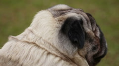 Back view of unhappy old dog breathing heavily, tired animal suffering disease Stock Footage