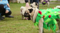 Fawn pug wearing funny Christmas tree suit, good dog obeying owner's commands Stock Footage
