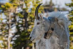 Adult Mountain Goat Wearing Research Collar Stock Photos