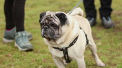 Cute pug on leash sniffing fresh air outdoors during walk with owner in park Stock Footage
