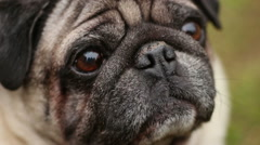 Closeup of wrinkly pug face, sick dog smelling air with dry nose, veterinary Stock Footage