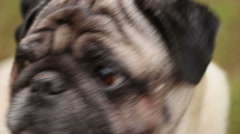 Close-up of dog's faithful eyes, wrinkly pug looking up, waiting for command Stock Footage