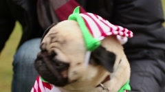 Sweet pugs wearing funny Christmas suits looking up, posing to photographer Stock Footage