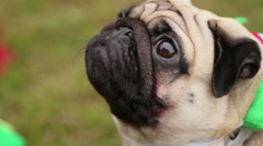 Nice pug looking up, sniffing and shaking head, dog enjoying walk outdoors Stock Footage