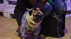 Woman hugging favorite pet, fawn pug wearing nice canine Christmas accessories Stock Footage