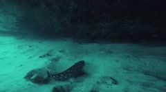 Spotted fish at coral reef underwater. Cramp fish. Beautiful ocean wildlife Stock Footage