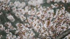 Cherry blossom or Sakura (Somei Yoshino) in Tokyo Japan. Stock Footage