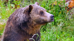 4K Grizzly Bear Wildlife Close Up, Bear Sitting in Field, Relaxing - stock footage