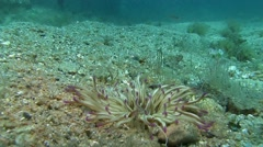 Costa Brava, diving the Mediterranean sea, Anemone, Spain Stock Footage