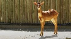 Siberian roe deer (Capreolus pygargus) Stock Footage