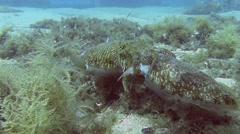Costa Brava, diving the Mediterranean sea, Breeding Cuttlefish, Spain Stock Footage