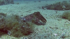 Costa Brava, diving the Mediterranean sea, Cuttlefish, Spain Stock Footage
