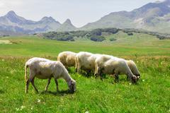 Flock of sheep grazing on green pasture , beautiful nature landscape in backg Stock Photos