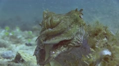 Costa Brava, diving the Mediterranean sea, Cuttlefish, Spain Stock Footage