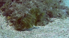 Seahorse on the bottom in the sand, Spain Stock Footage