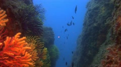 Deep water reefs Violescent sea-whip gorgones, Spain Stock Footage