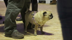 Gathering of people walking pugs on leashes, club of animal breeders, dog show Stock Footage