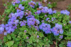 Ageratum houstonianum or flossflower Stock Photos