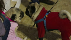 Pugs wearing cute coats and accessories sniffing each other to get acquainted Stock Footage