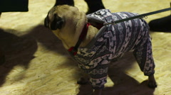 Cute pug in nice warm suit walking on leash, fashionable dog clothes boutique Stock Footage