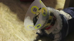 Sick pug wearing pet cone after medical treatment, smelling other dog cautiously Stock Footage