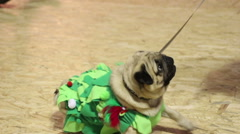 Cute pug wearing creative festive suit obeying owner's commands, eating treats Stock Footage