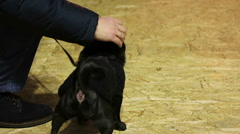 Cute black pug puppy shaking head, little dog wearing nice canine accessories Stock Footage