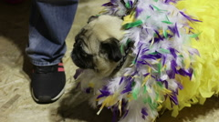 Cute pug wearing crazy feather suit, performing at dog show, canine fashion Stock Footage