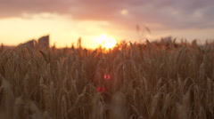 CLOSE UP: Golden sunset sun shining through dry yellow wheat on vast farmland - stock footage