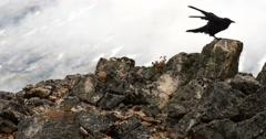 Black Raven Hops on Alpine Lichen Rocks Cloudy Day Stock Footage