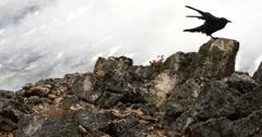 Black Raven Hops on Alpine Lichen Rocks Cloudy Day Stock Footage