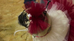 Touching female pug demonstrating fancy veiling dress and accessories at show Stock Footage