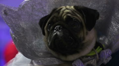 Amazing funny pug demonstrating sophisticated handmade costume at dog show Stock Footage