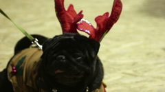 Black pug looking around attentively, having fun at festive party with owner Stock Footage