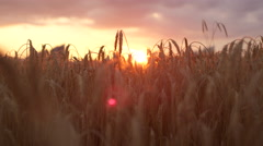 DOF CLOSE UP: Sunbeams shining through dry golden wheat ear on field at sunset - stock footage