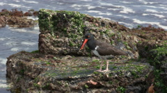 Tracking shot of a feeding oystercatcher at san cristobal in the galapagos Stock Footage