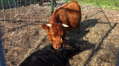 Bull cow kissing tongue. 4K. Stock Footage