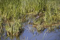 Ardeola purpurea in natural environment, the Danube Delta Stock Photos