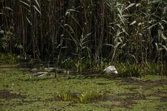 White egret in natural environment, the Danube Delta romania Stock Photos