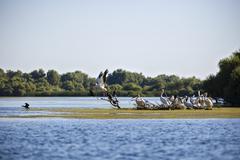 Pelecanus onocrotalus the natural environment, the Danube Delta Romania Stock Photos